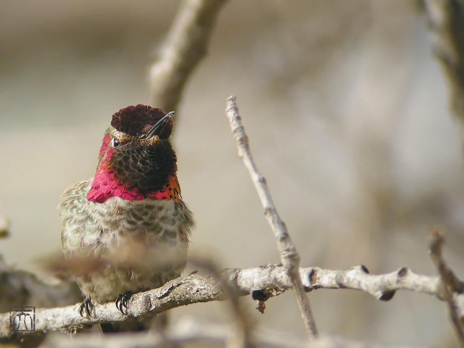 Anna's Hummingbird 2010o-2