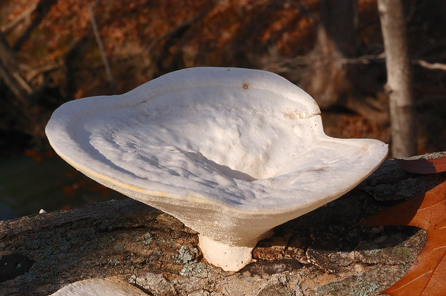 Broemmelsiek Park, in Saint Charles County, Missouri, USA - large, unusual white mushroom growing on log