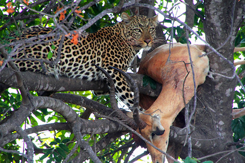 Leopard and impala kill