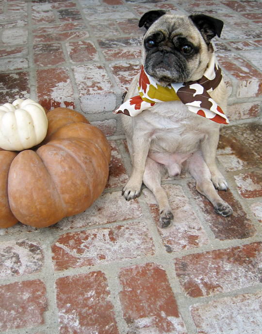 pug on thanksgiving