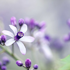 ...don't want to let go... (jewelflyt) Tags: white flower macro lyrics purple bokeh whitecedar holdmyheart sarabareilles hpps perfectpurplesaturday