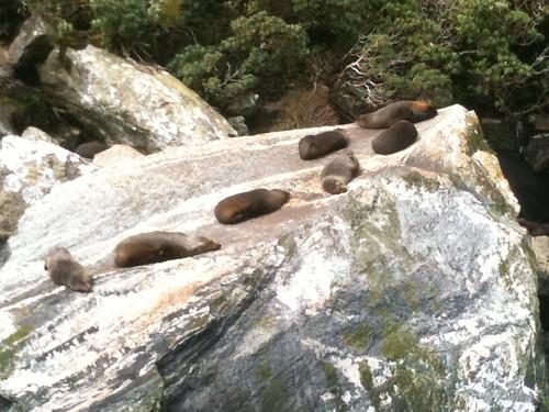 岩の上でヒマそうに寝ているアザラシ