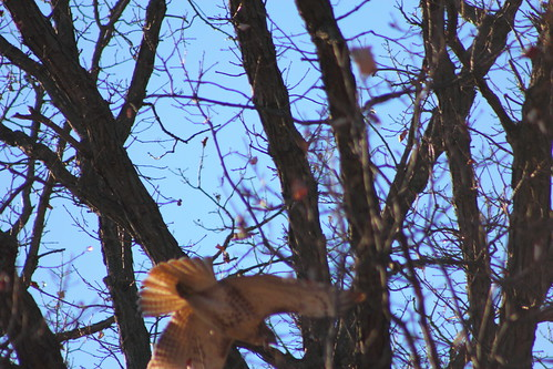 Red Tailed Hawk in Flight at the North Park Nature Center