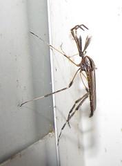 Gallinipper Mosquito Bite Gallinipper Mosquito Male Bug