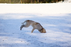 Dog Faceplant In The Snow / SONY A55 (jdoakey) Tags: uk england dog snow sony running norwich animalplanet earlham faceplant a55 earlhampark sonya55