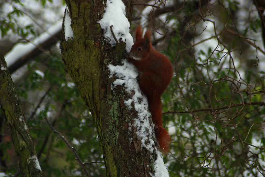 7f9733ae85d Squirrel (Gnudenstore) Tags: november winter red tree green denmark vinter  squirrel træ 11