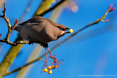5215146281 af75833906 Waxwings in the UK