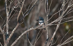 Forsythe Kingfisher (martytdx) Tags: birds kingfisher beltedkingfisher megaceryletorquatus megaceryle alcedinidae adult female brigantine edwinbforsythenwr forsythe forsythenwr nj november