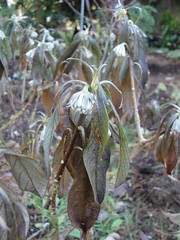 Edgeworthia cold damage before senescence 2