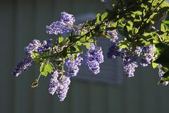 Ceanothus 'Antonette' (Melissa-Gale) Tags: blue flower photography violet melissa gale mg lilac evergreen bloom gail shrub ceanothus gorman berard antonette mg00245