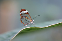 transparent (bugman11) Tags: nature animal animals fauna canon butterfly bug insect ngc nederland thenetherlands butterflies insects bugs 1001nights soe greatphotographers 70200mm28l bej ourplanet flickraward platinumheartaward doublyniceshot tripleniceshot mygearandme mygearandmepremium mygearandmebronze mygearandmesilver mygearandmegold mygearandmeplatinum mygearandmediamond greaterphotographers aboveandbeyondlevel1 aboveandbeyondlevel2 me2youphotographylevel1 unlimitedinsectslevel1 unlimitedinsectslevel2 unlimitedinsectslevel3 unlimitedinsectslevel4 unlimitedinsectslevel5 unlimitedinsectslevel6 unlimitedinsectslevel7 unlimitedinsectslevel8gold
