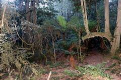 Golden Sassafras (Doryphora sassafras) (Poytr) Tags: fern cooltemperaterainforest doryphorasassafras arfp nswrfp vrfp rainforest narooma gulaganationalpark goldensassafras sassafras