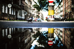Jaywalking (ewitsoe) Tags: bird reflection puddle canon street poland jezyce streetscene narrowfocus 50mm ewitsoe sumer water reflected reflect poznan europe