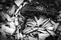Big piece... (Kaarel Kaldre) Tags: suur tükk big piece putukas sipelgas ant insect loodus nature makro macro closeup mustvalge blackandwhite monochrome noiretblanc outdoor