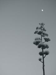 Reaching For The Moon (suenosdeuomi) Tags: agaveamericana centuryplant olympus olympusepm1 moon mond lalune monochrome