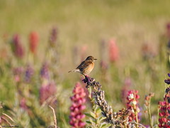 Common Stonechat, female (Corine Bliek) Tags: saxicolatorquata bird birds vogel vogels nature natuur wildlife birding colours colourful pink purple kleurrijk paars roze kleuren