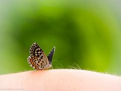 Butterfly, my butterfly.....🎵🎶 (somareja*pictures) Tags: olympusem10 olympusdigital macroaufnahme natur tiere schmetterling butterfly flickr markusreber somarejapictures