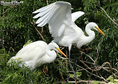"""Excuse me, pardon me, coming through."" (Shannon Rose O'Shea) Tags: shannonroseoshea shannonosheawildlifephotography shannonoshea shannon greategret greategrets bird birds white beak beaks feathers wings trees branches nature wildlife waterfowl outdoors outdoor alligatorbreedingmarshandwadingbirdrookery gatorland orlando florida flickr wwwflickrcomphotosshannonroseoshea ardeaalba canon canoneos80d canon80d eos80d 80d canon100400mm14556lisiiusm fauna art photo photography wildlifephotography wild rookery two"