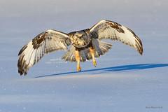 Rough-legged in winter (Earl Reinink) Tags: raptor bird animal naturephotograpy earl reinink earlreinink hawk roughlegged irrdodudoa