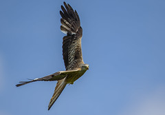 Kite - Super Predator (Ann and Chris) Tags: avian amazing awesome canon birdwatching beak birding bird feathers flying feather gorgeous gliding hunting hovering hunt wildlife kite outdoors predator phenomena raptor red stunning wild wings waterbirds