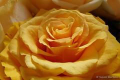 Sunrise / Sonnenaufgang (Sockenhummel) Tags: fuji x30 fujifilm finepix rose gelb fujix30 blume blüte flower
