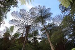 Prickly Tree Fern (Cyathea leichhardtiana) (Poytr) Tags: maxwellscreekrainforest nsw maxwellscreek cooltemperaterainforest arfp nswrfp vrfp arffern fern cyathealeichhardtiana cyathea cyatheaceae