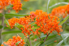 Kristen Martyn- Butterfly Weed, 20170630 (11) (KristenMartyn) Tags: flower nativeplants gardening garden indoorplants plants flora ontario outdoor tour tours wildflower wildflowers nativeplant butterflyweed milkweed asclepiastuberosa butterfly