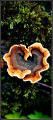 P365 Day 55 - Heart (edenmatt) Tags: rot mushroom moss heart fungus rotten mould heartshaped mouldy