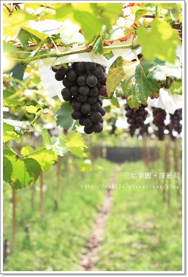 20100710_GrapePicking_0463 f