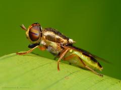 Stratiomyidae fly (Rundstedt B. Rovillos) Tags: macro insect fly reverselens macrophotography soldierfly stratiomyidae lamesaecopark nikond200 nikkor1855mm specanimal reverselensadapter nikonsb400 diyflashdiffuser notyournormalbug rundstedtbrovillos kentuckyfriedchickenplasticbucketlid diykfcflashdiffuser onehandmacroshootmethod kfcdiffuser