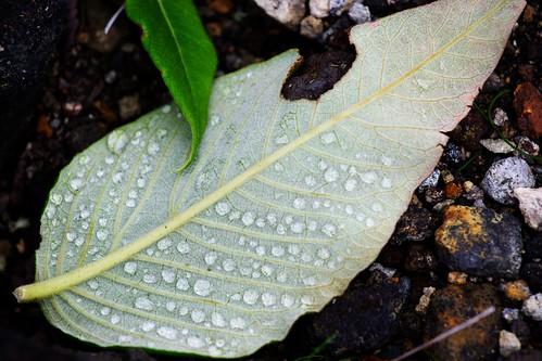 葉っぱのお皿の水滴