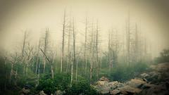 Some great silence (Pete.J.Dunham) Tags: mist mountain mountains misty fog clouds woods russia primorskiy ridge deadtree region fareast deadwood firs territory taiga alin sikhotealin kray pidan krai ussuri livadiyskiy sikhote primosky petejdunham ussuribroadleafandmixedforests