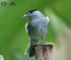 Blackcap   (Borashd) Tags: 16610