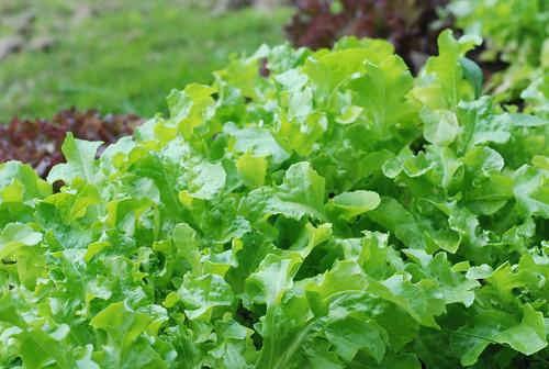 roheline salat