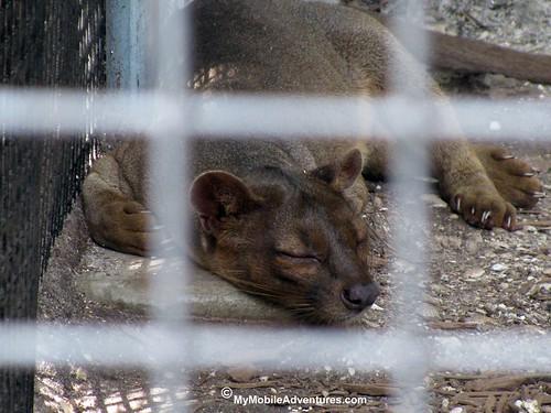 IMG_2059-Fosa-fossa-Naples-Zoo-Florida
