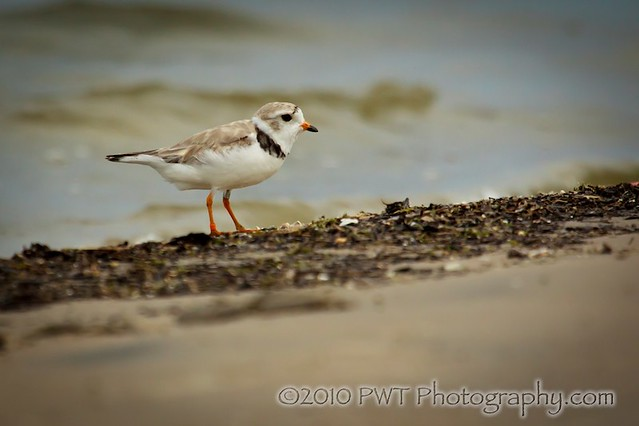 07_31_10 Piping Plover