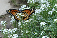 in the alyssum (ladybugdiscovery) Tags: orange white black butterfly garden wings butterflies tortoiseshell lepidoptera colourful viceroy alyssum