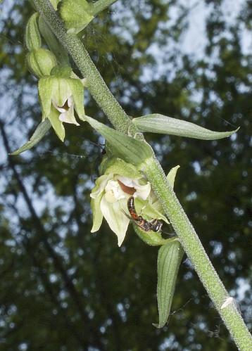 Mangeurs de pollen à orchidées 4949026435_c0a6fe4ffc