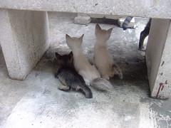 สามพี่น้องแมว - Band of Brothers Kitty