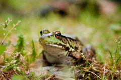Sometimes you have to kiss a lot of xenopus' to find your prince (Jaime973) Tags: canon 50mm kiss raw prince frog monthlyscavengerhunt msh xenopus msh0910 msh09104 happygorgeousgreenthursday hggt florabellatexture iwasbellydownandrightinhisface thenhoppedinthepond hewasasweetfrog andhekindlysatforallmyshots