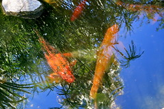 Languid Koi Pond (Chic Bee) Tags: summer arizona fish hot pond colorful day bright tucson sunny american koi consumer govinda ongoldenpond minivacation twohour beautifulfish beautifulkoi newamericanconsumerstwohourminivacation govindapond