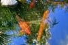 Languid Koi Pond (Chic Bee) Tags: summer arizona fish hot pond colorful day bright tucson sunny american koi consumer govinda ongoldenpond minivacation twohour beautifulfish beautifulkoi newamericanconsumerstwohourminivacation govindapond