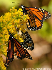 The Monarch migration is in full swing (Jim Frazier) Tags: statepark park door trip travel flowers autumn wild summer vacation orange plants flower fall nature floral animals yellow closeup fauna wisconsin feast butterfly flora nikon natural feeding eating wildlife blossoms goldenrod butterflies sunny insects brush bugs september lepidoptera eat monarch perch dining perched wildflowers traveling dine migration whitefishbay wi scrub feasting doorcounty leps 2010 savanna undergrowth sturgeonbay perching gardenblog d90 q4 capturenx nikoncapturenx tosets ldseptember ld2010 ©jimfraziercom 20100905doorcounty 100905c jfpblog