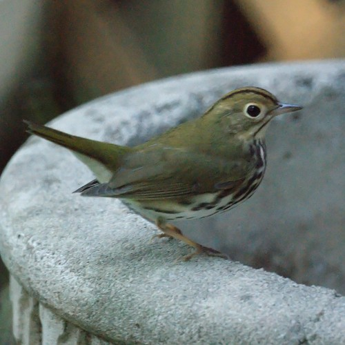 Ovenbird in the garden
