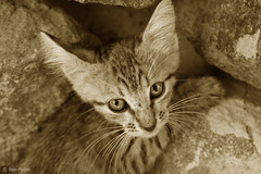 Abandoned Cat - 5 (Ben Heine) Tags: camera light wallpaper portrait hairy baby inspiration cute art love beauty stone sepia hair poster fur nose photography bigeyes paw focus friend kitten feline energy alone dof sad sweet quality tiger details homeless kitty streetlife ears yeux sharp explore hidden greece story triste ami ojos expressive series lovely ogen copyrights bestfriend rue fragile poil grce tigre emotive ecosystem fourrure vibration mignon chaton flin saintvalentine unfair patte adoptme abandonedcat pupille theartistery benheine chatabandonn flickrunited samsungnx10 benheinecom
