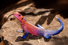 Red Headed Rock Agama (Riyazi) Tags: blue rock kenya wildlife lizard mara colourful masai agama