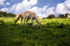 shadow browsing (Dennis_F) Tags: park blue shadow food green nature colors animal animals licht daylight tiere essen woods dof bokeh wildlife sony natur sigma deer bambi fullframe dslr 50 sonne wald schatten reh deers 50mmf14 fressen wildpark browse sigma50mm sigmalens pfälzer grasen a850 festbrennweite sonyalpha sonydslr vollformat sigma5014 sigma50mmf14 sigmaobjektiv dslra850 sonya850 sonyalpha850 alpha850