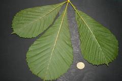 Aesculus hippocastanum - Castaño de Indias - Hoja Envés