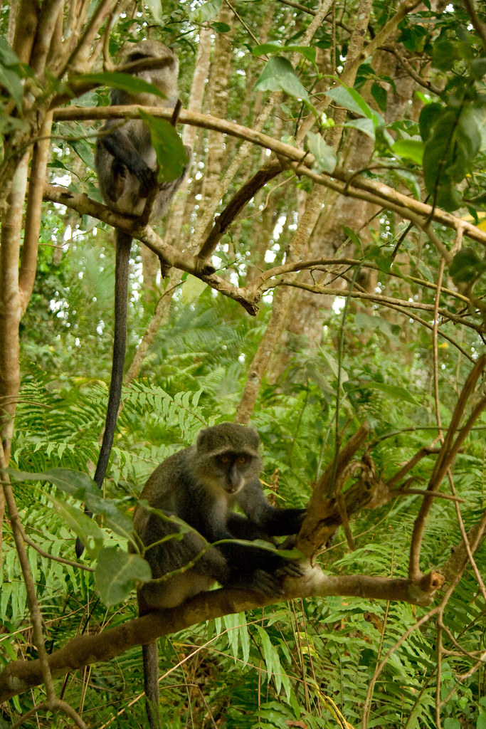 Zanzibar Sykes' Monkeys - Jozani Forest, Zanzibar, Tanzania