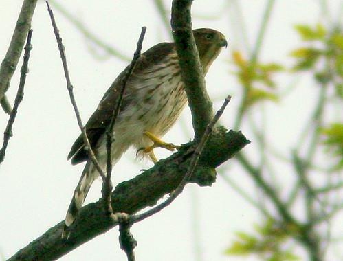 Coopers Hawk 20100909